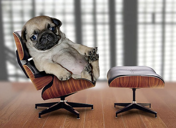 pug_apartment_therapy